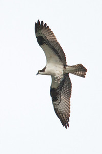 Osprey with talons ready
