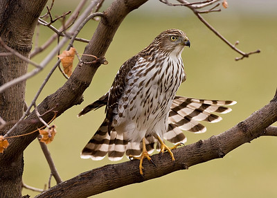 Cooper's Hawk stretching