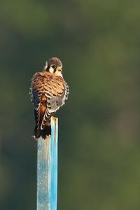 Kestrel Perched