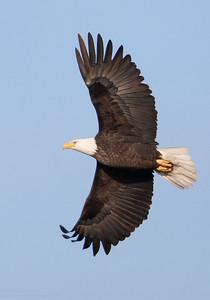Bald Eagle over the Fox River
