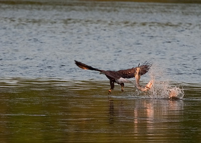 Bald Eagle just missed Northern Pike (mouth opened)