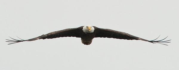 Bald Eagle straight on