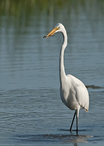 Great egret fish catch (water dropplets still in the air!)