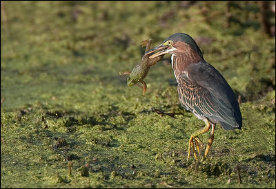 Bad day for a frog, Green Heron