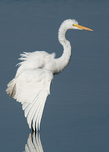 Great Egret ruffled