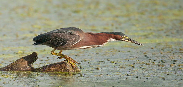 Green Heron | Ready to Strike!