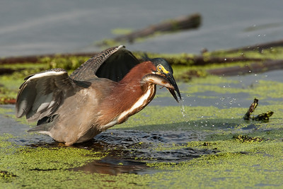 Green Heron grabbing fish