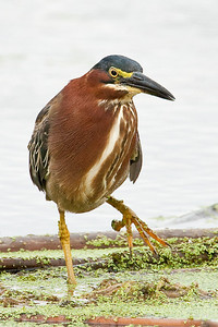Green Heron with foot up