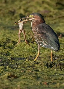 Green Heron with bull frog