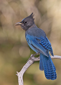 Steller's Jay with nut