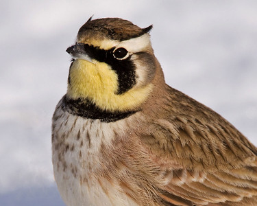 Horned Lark portrait