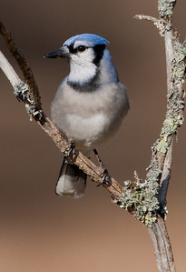 Perched bluejay