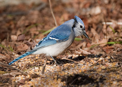 Foraging bluejay