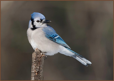 Bluejay look back