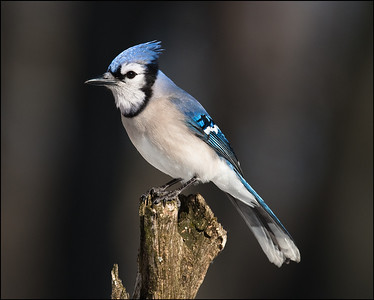 Wintertime Blue Jay | Featured in Birder's World Magazine's September Newlsetter http://links.mkt746.com/servlet/MailView?ms=NDU1OTY5NAS2&r=NjIwODYyOTU1NAS2&j=MTYzMTM4NjM1S0&mt=1&rt=0