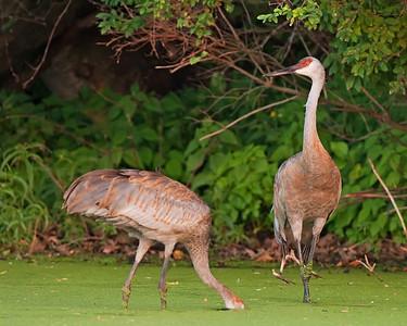 Adult Sandhill Cranes, Feeding