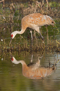 Sandhill Crane searching for food