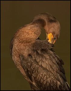 Immature Cormorant preening