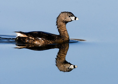 Pied Grebe reflection