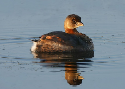 Pied Grebe, morning sunrise