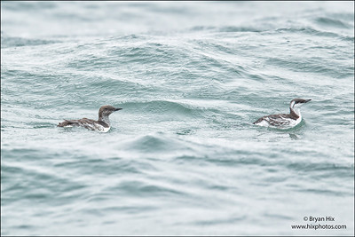 Common Murre Molting from breeding plumage to non-breeding