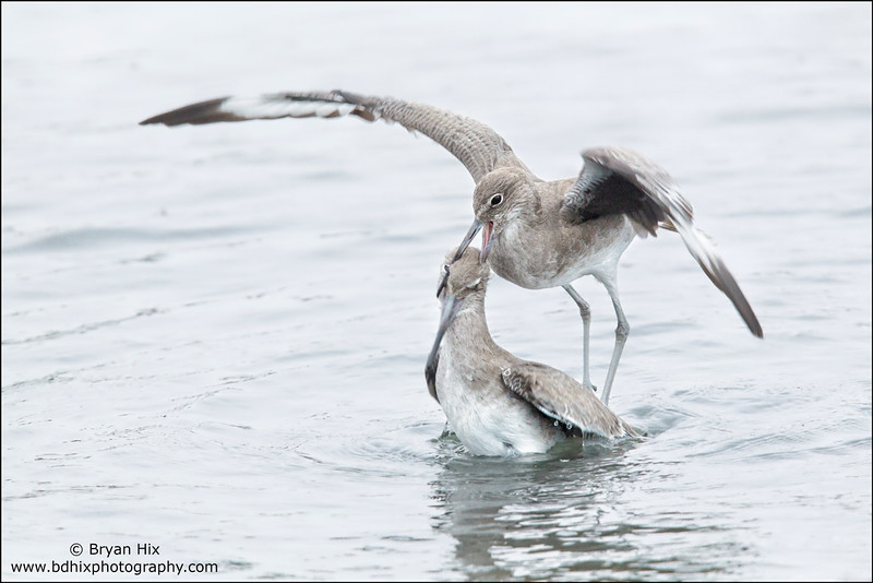 Willets fighting
