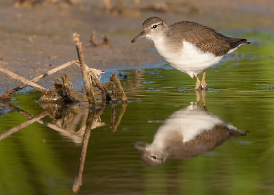 Spotted sandpiper in fall coloration