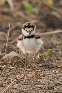 Kildeer Chick