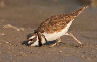 Almost got it! (Kildeer)
