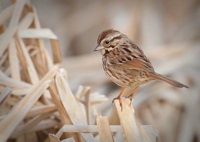 Song Sparrow in cattails