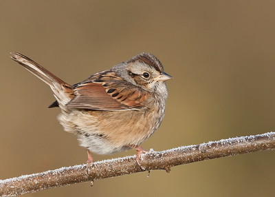 Swamp sparrow on frosty perch