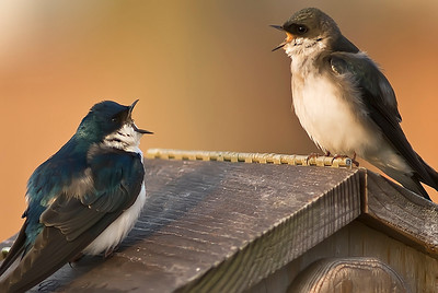 Tree Swallow morning arguement