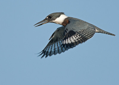 Hovering Belted Kingfisher