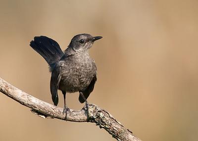 Catbird, juvenile
