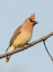 Cedar Waxwing, early morning light