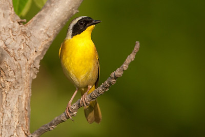 Common yellowthroat in setting sun.