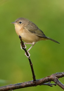 Immature Common Yellowthroat