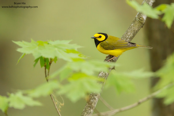 Hooded Warbler Lake Hope, OH
