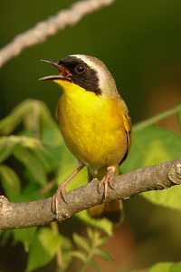 Common Yellowthroat | Singing