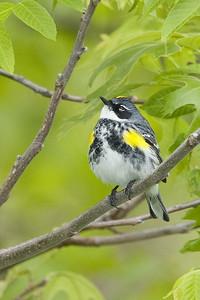 Yellow-Rumped Warbler, breeding plummage