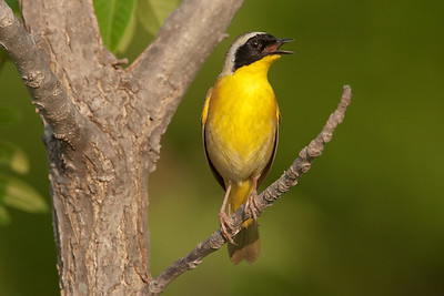 Common yellowthroat singing.