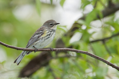 Yellow Rumped (Myrtle) Warbler, Female