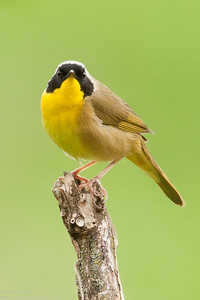 Common Yellowthroat | The Stare!