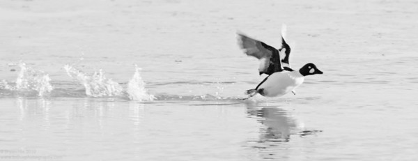 Goldeneye take off, B&W.  Montrose Harbor
