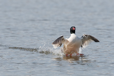 Common Merganser skidding to a stop