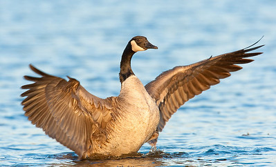 Canada Goose, sunrise stretch