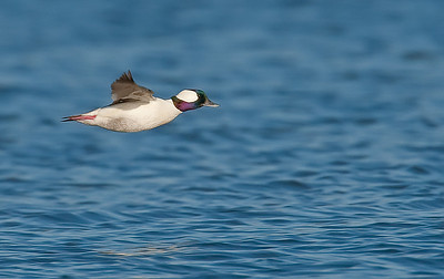 Drake bufflehead in flight