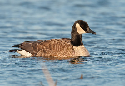 Canada Goose-Nelson Lake, IL