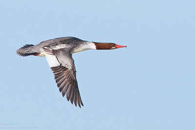 Merganser, female