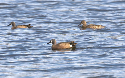 Blue-winged teal, breeding plummage